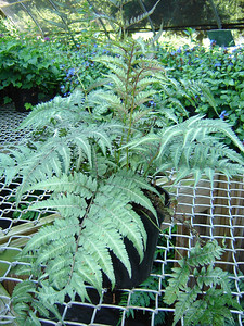 """Athyrium 'Regal Red'   Exposure: Shade; Bloom Color: N/A; Bloom Time: N/A; Mature Height: 12-18"""""""
