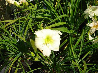 "Hemerocallis 'Joan Senior'   Exposure: Sun - Part Shade; Bloom Color: White; Bloom Time: Summer; Mature Height: 24-36"""
