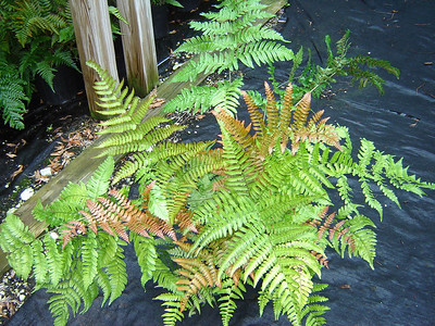 """Dryopteris 'Brilliance'   Exposure: Shade; Bloom Color: N/A; Bloom Time: N/A; Mature Height: 18-24"""""""
