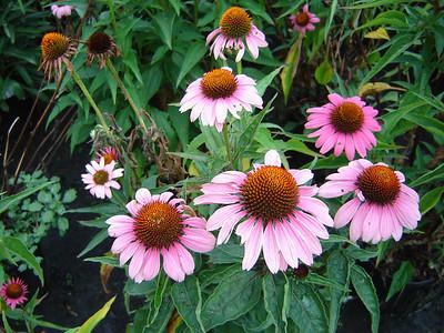 "Echinacea 'Magnus'   Exposure: Sun; Bloom Color: Deep Rose; Bloom Time: Summer; Mature Height: 30-36"""