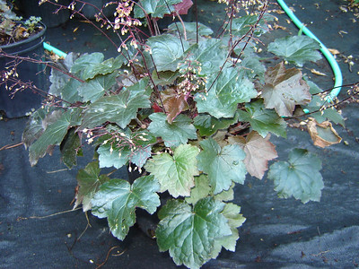 Heuchera 'Blackout'   Exposure: Shade; Bloom Color: White: Bloom Time: Spring - Summer; Mature Height: 12-18""