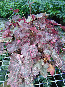 Heuchera 'Midnight Rose'   Exposure: Shade; Bloom Color: White; Bloom Time: Summer; Mature Height: 10-12""