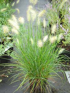 Pennisetum aloparcaroides 'Hameln'  Dwarf Fountain Grass