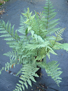 """Athyrium 'Ghost'   Exposure: Shade; Bloom Color: N/A; Bloom Time: N/A; Mature Height: 18-24"""""""