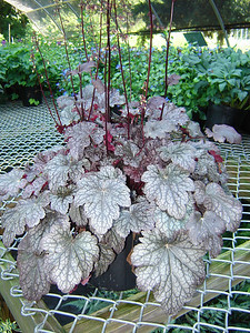 "Heuchera 'Plum Pudding'   Exposure: Shade; Bloom Color: Cream; Bloom Time: Spring - Summer; Mature Height: 8"" x 28"" wide"
