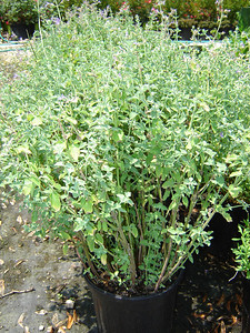 Nepeta 'Dropmore'  Exposure: Sun; Bloom Color: Blue; Bloom Time: Summer - Fall; Mature Height: 18""