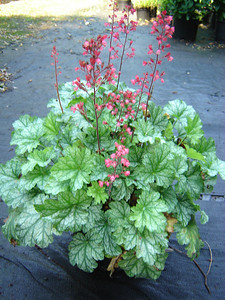 Heuchera 'Paris'   Exposure: Shade; Bloom Color: Pink; Bloom Time: Spring - Summer; Mature Height: 12-14""