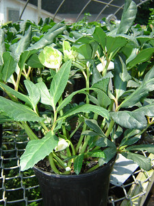 Helleborus 'Josef Lemper'  Exposure: Shade; Bloom Color: White; Bloom Time: Winter - Spring; Mature Height: 10-12""