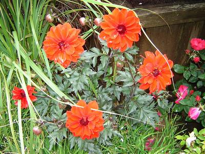 "Dahlia 'Bishop of Llandaff'   Exposure: Sun; Bloom Color: Red; Bloom Time: Spring - Summer; Mature Height: 36"""