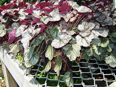 Heuchera 'Sliver Scrolls'  Exposure: Part Shade; Bloom Color: White; Bloom Time: Spring - Summer; Mature Height: 12""