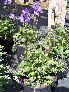 "Polemonium 'Bressingham Purple'   Exposure: Sun - Part Shade; Bloom Color: Blue; Bloom Time: Spring - Early Summer; Mature Height: 15-18"""