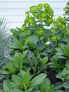 "Euphorbia var. robbiae; Wood Spurge Exposure: Sun - Shade; Mature height: 12-18""; Bloom color: Yellow; Bloom time: Spring"
