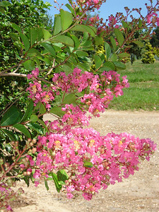 Lagerstroemia indica 'Miami'   Crape Myrtle Dark coral pink flowers. Leaves turning orange-red in fall.  23-33' mature height.