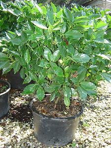 Aucuba japonica 'Emily Rose'  Japanese Aucuba; Spotted Laurel 5-6' mature height