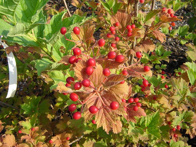 Viburnum trilobum 'Wentworth'  American Cranberry Bush