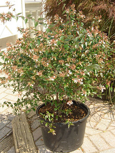 Abelia x grandiflora  Glossy Abelia 3-6' mature height and width. Semi-evergreen. White flowers through summer into fall.