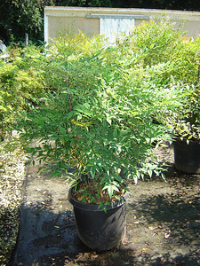 Nandina domestica  Heavenly Bamboo 6-10' mature height. Leaves in winter turn red-green. Berries fall through winter.
