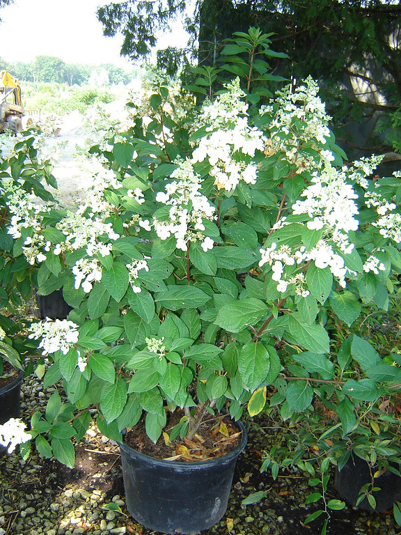 Hydrangea 'Pinky Winky'  Upright habit, with conical flowers Flowers open white, turning pink with age 6-8' mature height