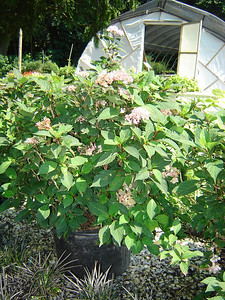 Hydrangea 'Preziosa'  Preziosa is a cross between macrophylla and serrata.  Mophead blooming white, pink, rose red to violet purple.
