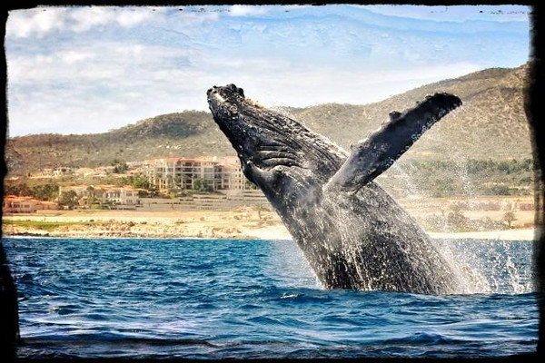 Whale showing off in Cabo San Lucas  Photographer's Name: Melissa Deedon Photographer's City and State: Fallbrook, CA  To vote in favor for this photo, simply add a comment below. You can also share this photo on Facebook and Twitter using the buttons above.