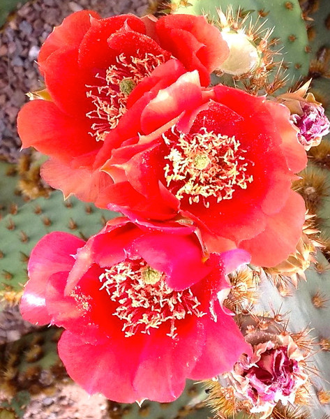 Prickly Pear cactus spring blooms  Photographer's Name: James Duncan Photographer's City and State: Tucson, AZ  To vote in favor for this photo, simply add a comment below. You can also share this photo on Facebook and Twitter using the buttons above.