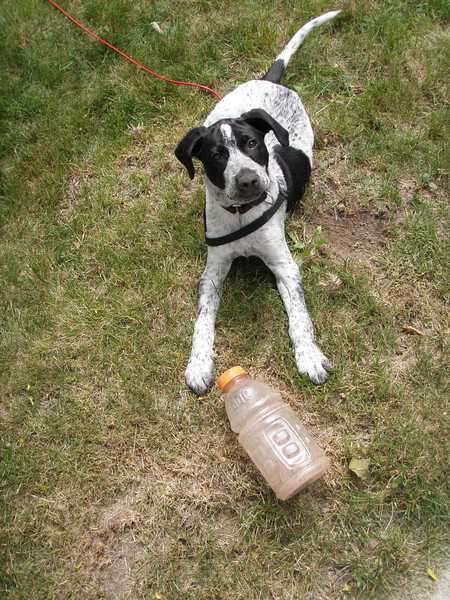 Dewey in our yard with one of his favorite toys -- a Gatorade bottle filled with rocks.