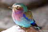 Happy Easter<br /> (4-8-07)<br /> <br /> I found the bird that lays the easter eggs ;). <br /> It's a Lilac-breasted Roller.