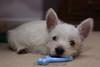 Westie_Puppy-12-11-09-010