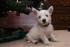 Westie_Puppy-12-11-09-003