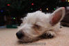 Westie_Puppy-12-11-09-063
