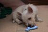 Westie_Puppy-12-11-09-006