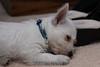 Westie_Puppy-12-11-09-042