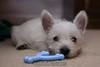 Westie_Puppy-12-11-09-013