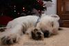 Westie_Puppy-12-11-09-055