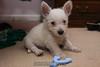 Westie_Puppy-12-11-09-008