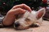 Westie_Puppy-12-11-09-064