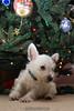 Westie_Puppy-12-11-09-020