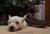 Westie_Puppy-12-11-09-057