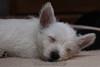 Westie_Puppy-12-11-09-039