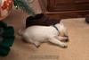 Westie_Puppy-12-11-09-050