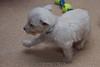 Westie_Puppy-12-11-09-070