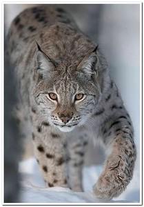 ARKive image GES057862 - Eurasian lynx