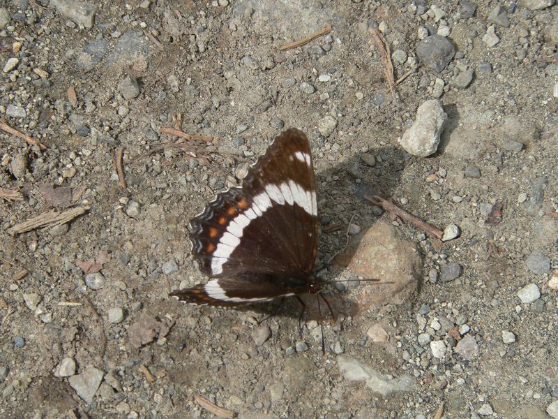 White Admiral Butterfly at Kennecott