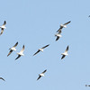 Black Headed Gull Flock