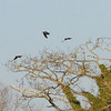 Magpie, Rooks, Hooded Crows