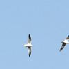 Black Headed Gull Flock