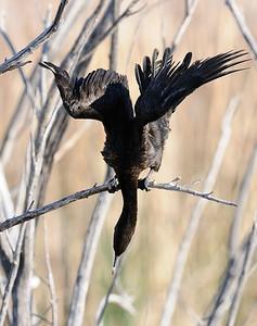 Cormorant (species)