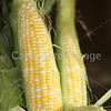 Corn Color_-5