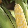 Corn Color_-15