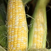 Corn Color_-8
